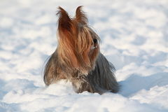 Dog in snow Royalty Free Stock Photography