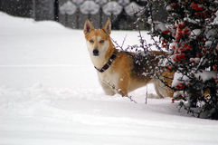 Dog in snow. A view of a beautiful light brown dog outside, playing in the snow on a cold winter day during a snow storm Stock Photos