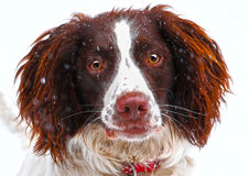 Dog in snow. English Springer Spaniel dog in snow Stock Photos