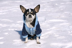 Dog in snow. The little dog with big ear wears clothes and squats in the snow Stock Image