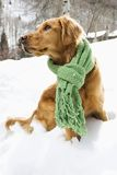 Dog in snow. Side view of Golden Retriever sitting in snow wearing green scarf Royalty Free Stock Photography