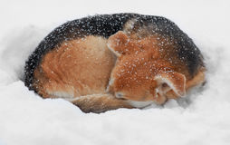 Dog in the snow. Freezing dog sleeping in the snow Stock Image