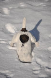 Dog in snow. Jack russel terrier dog digging a hole in the snow Stock Photography