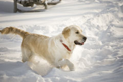 Dog in the snow. Golden retriever in the snow Stock Photo