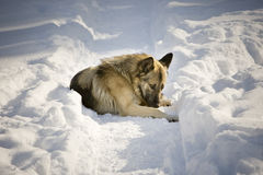 Dog in the snow. Dog laying in the snow Stock Image