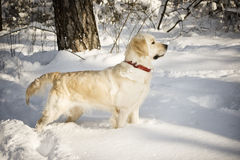 Dog in the snow. Golden retriever in the snow Stock Image