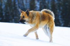 Dog on snow royalty free stock image