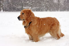 dog snow Royaltyfri Bild