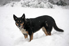 Dog in the snow. Beautiful dog standing in deep snow during a snow storm stock images