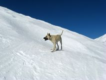 Dog in snow. Dog in the snowy mountains Stock Photography