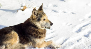 Dog in the snow Royalty Free Stock Images