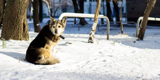 Dog in the snow. Beautiful dog with a collar in the winter on the street, one is a social problem of homelessness Royalty Free Stock Photo