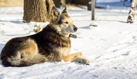 Dog in the snow. Beautiful dog with a collar in the winter on the street, one is a social problem of homelessness Stock Images