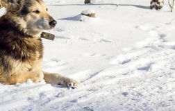 Dog in the snow. Beautiful dog with a collar in the winter on the street, one is a social problem of homelessness Stock Photo