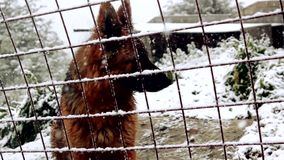 Dog In Snow Behind A Fence. A dog barks behind a fence, in the middle of the snow stock video