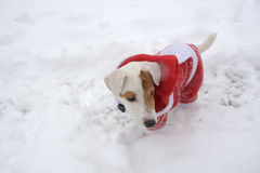 Dog in the snow with Christmas costume Dec 29, 2014 Royalty Free Stock Images