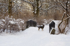 Dog on snow covered little bridge in  winter park. Dog on snow covered little bridge in on winter day park Royalty Free Stock Photography