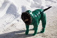 Dog on snow-covered road in winter, top view. Pug dressed in blue overalls. Bright frosty winter day in the countryside. royalty free stock image
