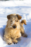 Dog In Snow Royalty Free Stock Photo