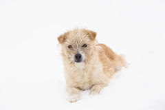 Dog in the snow. Cute dog lying in the snow Stock Photo