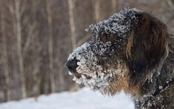 Dog with snow on face Stock Photos