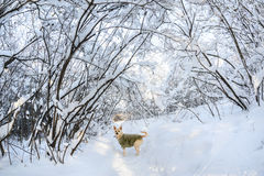 Dog and snow in the forest Royalty Free Stock Photography