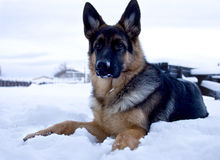 Dog on snow Stock Image