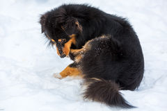 Dog in snow is gnawing at the paw Royalty Free Stock Photo