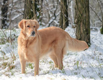 A dog in the snow Royalty Free Stock Image