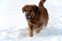 Dog in the snow Golden retriever walking Stock Photos