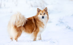 Dog in snow Stock Photography