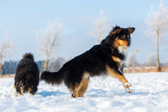 Dog in the snow jumping for a treat. Australian Shepherd dog in the snow jumping for a treat Stock Image