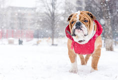 Dog and snow Royalty Free Stock Photos