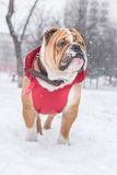 Dog on the snow Royalty Free Stock Photo
