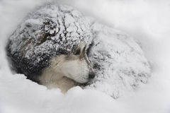 Dog in snow. Dog - Malamute in snow bank. Dog`s fur is snow powdered royalty free stock photos