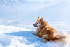 Dog in snow in mountains Royalty Free Stock Photo