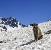 Dog in snow mountains at sun spring day Royalty Free Stock Photo