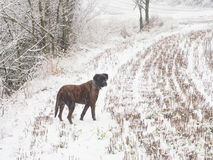 Dog in the snow. My best friend walking in the rain of snow Royalty Free Stock Image