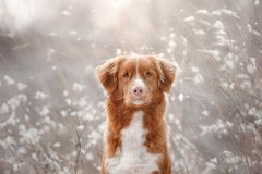 Dog in the snow. Nova Scotia duck tolling Retriever royalty free stock image