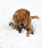 Dog in snow playing. Golden Retriever playing in deep thick snow during a snow storm Stock Images