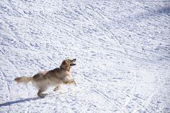 Dog and the snow. Dog playing with a ball in the snow Stock Image