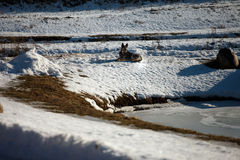 Dog on snow at a pond Royalty Free Stock Photography