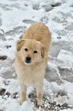 Dog in the snow. Portrait of a cute white dog in the snow Royalty Free Stock Images