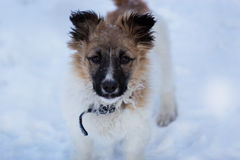 Dog in the snow puppy in the snow Royalty Free Stock Photography