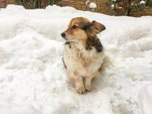 Dog on the snow. Small dog on the snow, corgi dog on the snow Royalty Free Stock Photos