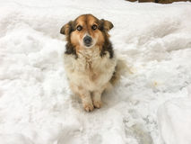 Dog in the snow. Small dog in the snow, corgi pet on the snow Stock Photography