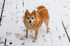 Dog in snow. Dog on snowy winter morning in Ireland Stock Image