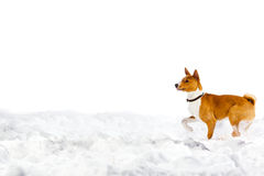 Dog in snow on white Stock Photo