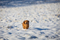 Dog in the snow Royalty Free Stock Image