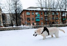 Dog in the snow royalty free stock photography